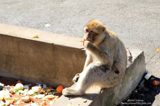 A monkey in a feeding station in Upper Rock of Gibraltar