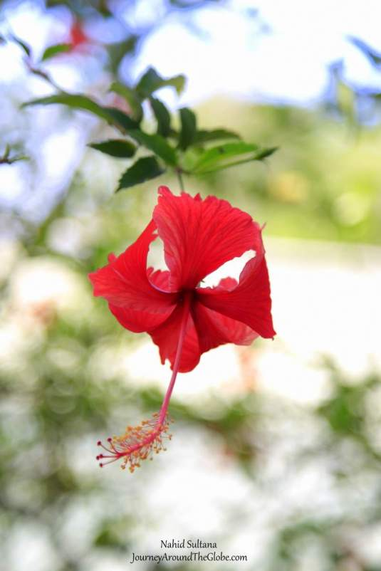 Saw a hibiscus flower while walking around the Archeological Park of Joya de Ceren, El Salvador