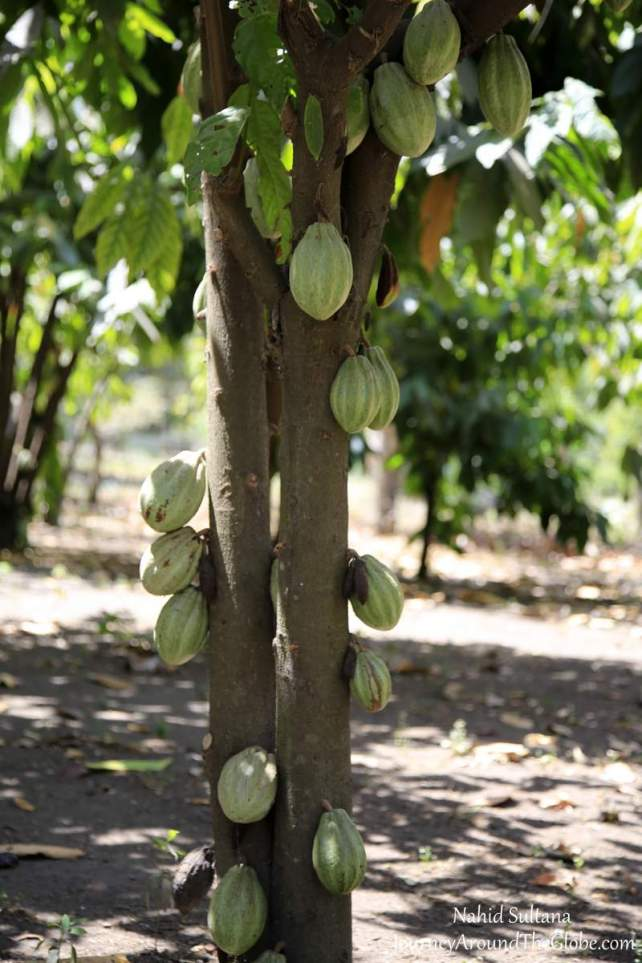 A cocoa tree (or chocolate tree) in Joya de Ceren Archeological Park in El Salvador