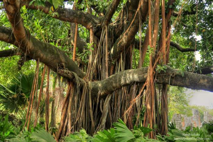 A century old tree in Panama Viejo, Panama City