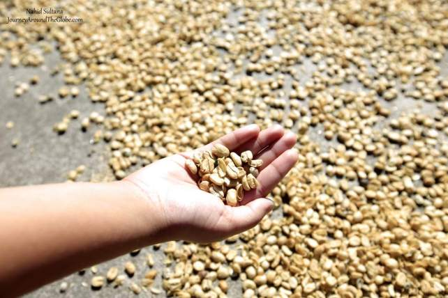 Coffee beans drying outside in DOKO Coffee Plantation in Costa Rica