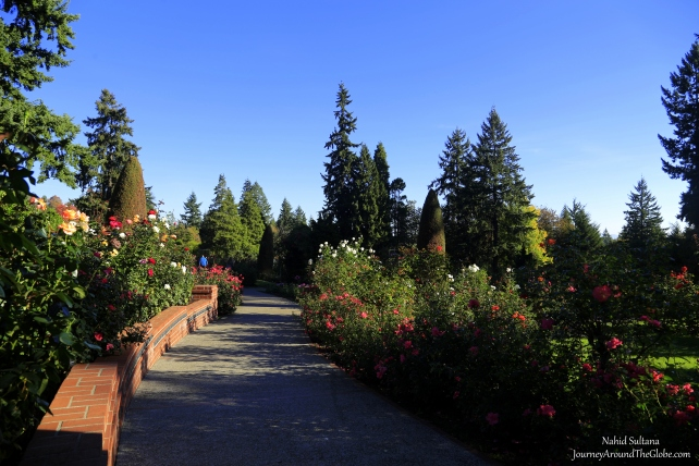 There are more than 600 varieties of roses in the International Rose Test Garden in Portland, Oregon