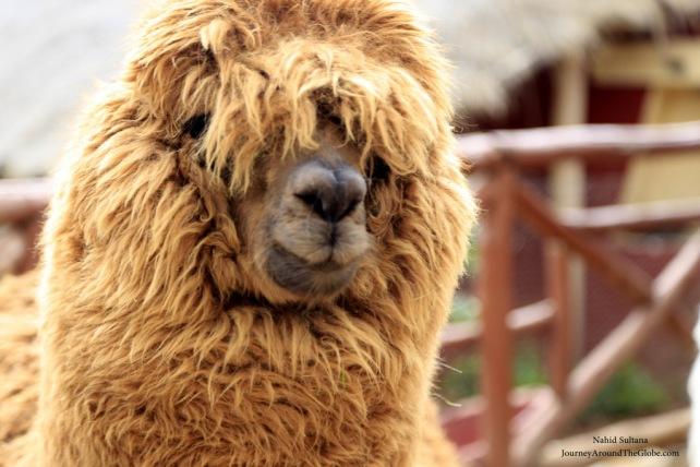 An alpaca in Figueroa Alpaca Textile, Peru