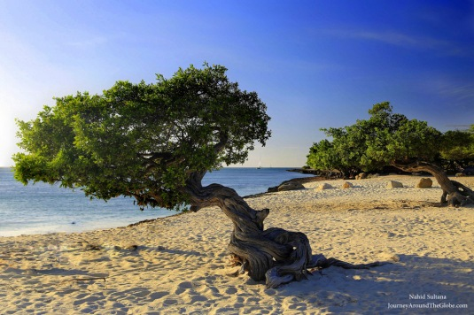 The famous Divi tree pair in Eagle Beach in Aruba